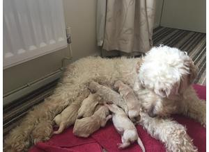 Goldendoodle puppies looking for their forever home