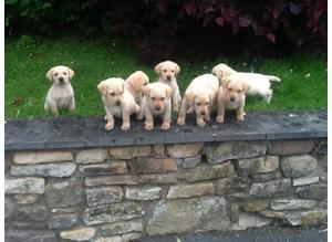 Labadour puppies