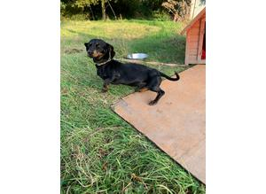 Standard  Dachshunds for sale
