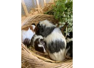 Various Guinea pigs sows / boars