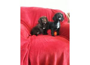 Ready Now Kc Registered Cocker Spaniel Puppies
