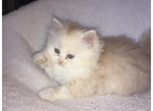 Adorable Persian (exotic Longhair) Kittens