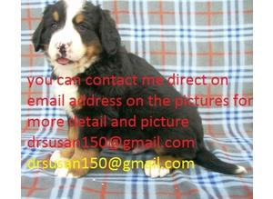 CC Only 4 Left Fawn Kc French Bernese Mountain Dog Hc Clear