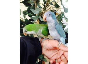 Baby Quaker talking parrot hand tame