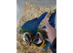 *REFUCED* Blue and gold macaws Almost 1 year