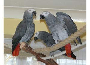 Tame African gray parrots  in brent