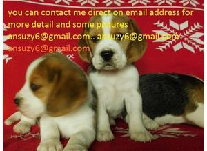 5 generation pedigree Cute 2 female beagles, Tri coloured puppies Ready