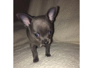 Apple dome headed Blue  chihuahua puppies for sale we have 2 gorgeous boys and 3 cute girls  available now