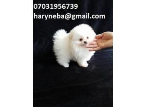 xxx QUALITY BRITISH **xx Stunning, Small, White KC Pomeranian boy***Stunning Quality Litter