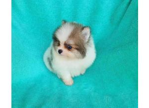 Designer Coloured The Water Blue Diamond Eyes Teacup KC Reg Pomeranian Puppies
