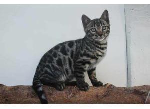 Bengal kittens (rossette) seeking forever home