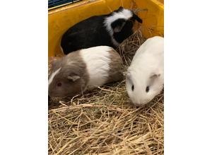Beautiful Guinea pigs crested texel sheltie Straigh hair Male /  female