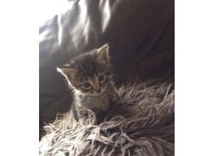 Kittens tabbys