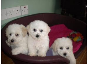K.C.Reg Bichon Frise Pups
