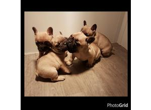 Quality French Bulldog pups up for new family