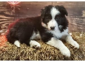Adorable Border Collie Puppies - READY NOW