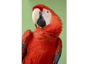 RUBY----BLUE/GOLD Macaws.... SIMPLY Children Trained Macaws.