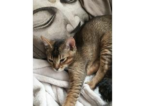 BOBBY Abyssinian kittens for good homes, Bobby Valentine have had the most amazing Kiki