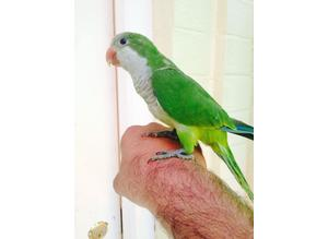 Hand tame baby Quaker talking parrot