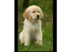 WANTED! golden retriever puppies
