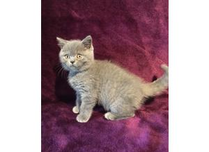 GREAT!!! Russia Imported stud with Impressive bloodline British Blue Shorthair KITTENS Ready Now Pet On Active Reg