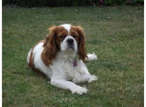 CAVALIER KING CHARLES SPANIEL FOR STUD ONLY