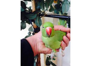 Baby hand hand Indian ringneck talking parrot