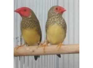 Rare Finches Available