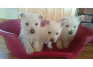 Westhighland terrier puppies