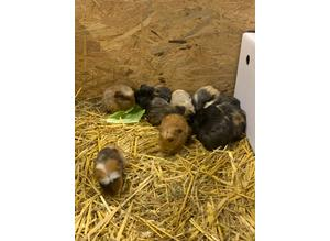 11 stunning crested babies  Guinea pigs Male boar
