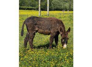 Gelding donkey for sale