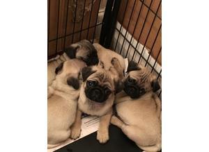 salas Pug Puppies Ready Now!!