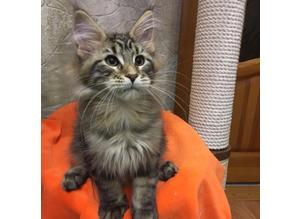 !!SOFA-LOVED Maine Coon Kittens Broad Healthy 12weeks Super Bonded Kittens READY!!NOW ELITE LITTER.