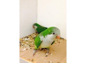 Baby Quaker talking parrot