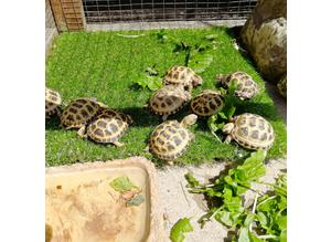 Horsfield baby tortoises for sale licenced