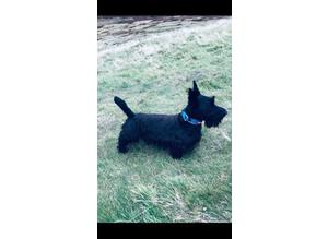 Scottish Terrier stud
