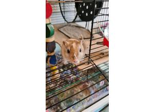 2 Gerbils with cage, full set up and play pen