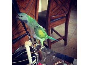 hand reared talking parrot derbyan