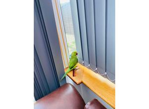 Indain ring nack talking parrot