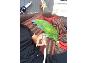 Super hand reared talking parrot derbyan
