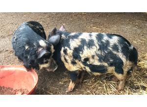 FREE Pigs kune kune