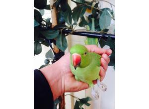 Beautifull hand tame baby Indian ringneck talking parrot