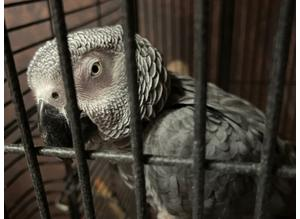African Grey (Red Congo) Parrot for Sale