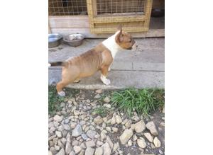 Quality English Bull Terrier KC Puppies Ready Now