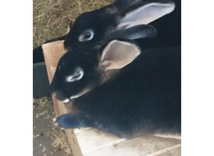 Otter rex bunnies for sale