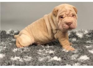 Beautiful Kc Registered Shar Pei Puppies.
