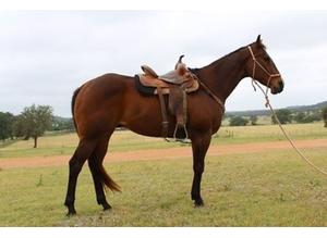 4 year old , beautiful quarter horse gelding ready for new home