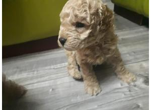 Beautiful apricot toy poodles PRA CLEAR KC registered