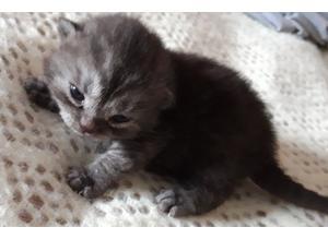 Pedigree black/silver smoke tabby b.s.h kitten for sale