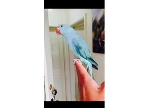 Sky blue ringneck ( hand tame) talking parrot